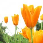 Narandžasti cvet